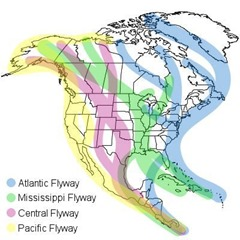 Atlantic Flyway II
