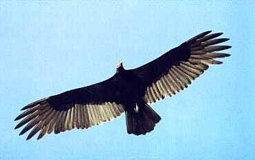 Turkey Vulture is similar